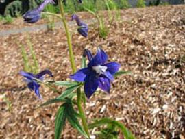 Larkspur (Delphinium trollifolium)