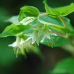 Hooker's fairy bells (Disporum hookeri)