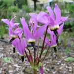 Broadleaf shooting star (Dodecatheon hendersonii)