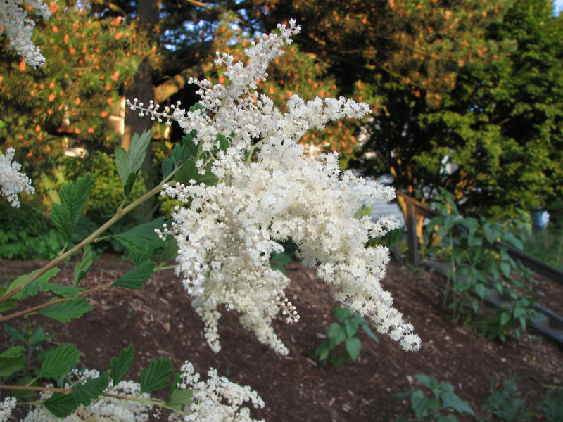 Oceanspray (Holodiscus discolor)