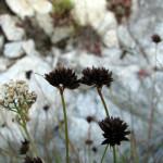 Dagger-leaf rush (Juncus ensifolius)