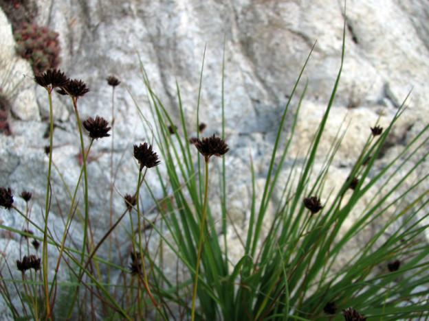 Daggerleaf rush (Juncus ensifolius)