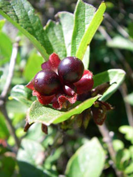 Black twinberry (Lonicera involucrata)