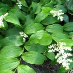 False Solomon (Maianthemum racemosum)