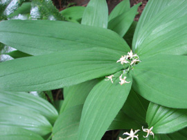 Star-flowered Solomon's seal (Maianthemum stellatum)