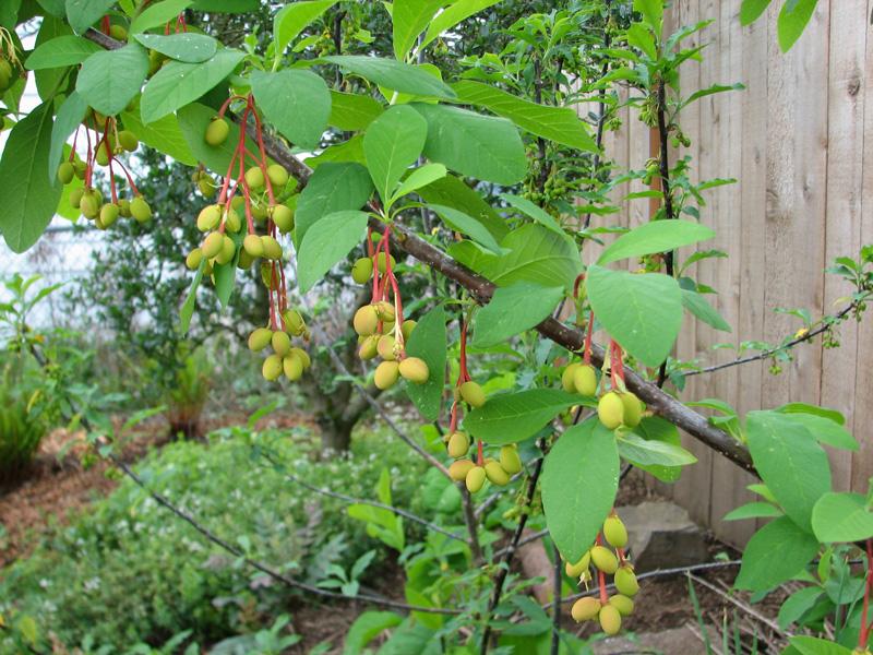 Indian plum (Oemleria cerasiformis)