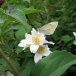 Mock orange (Philadephus lewisii)