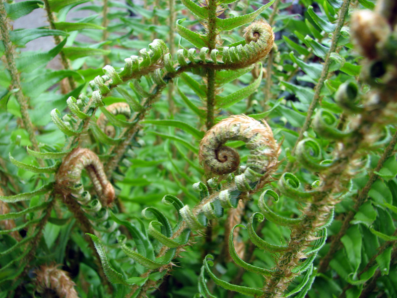 Sword fern (Polystichum munitum)