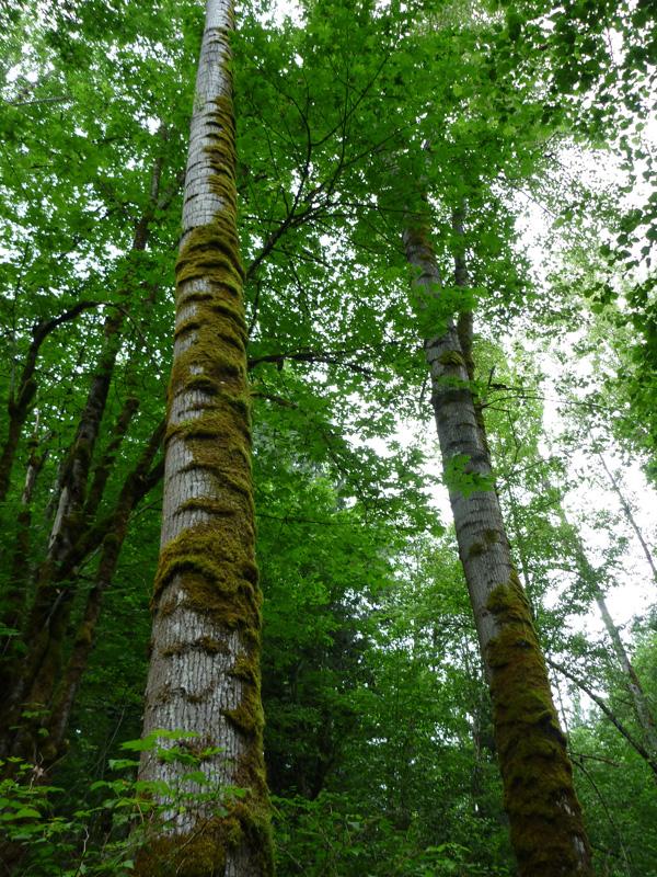 Black cottonwood (Populus trichocarpa)