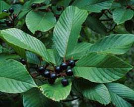 Cascara (Rhamnus pershiana)