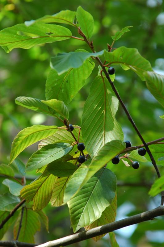 Cascara (Rhamnus purshiana)