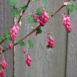 Red-flowering currant (Ribes sanguinium)