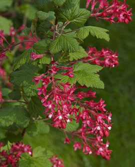 Red-flowering currant (Ribes sanguineum)
