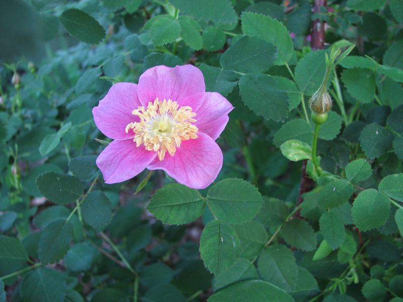 Nootka rose (Rosa Nutkana)