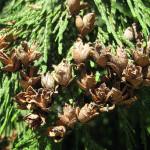 Western redcedar (Thuja plicata)