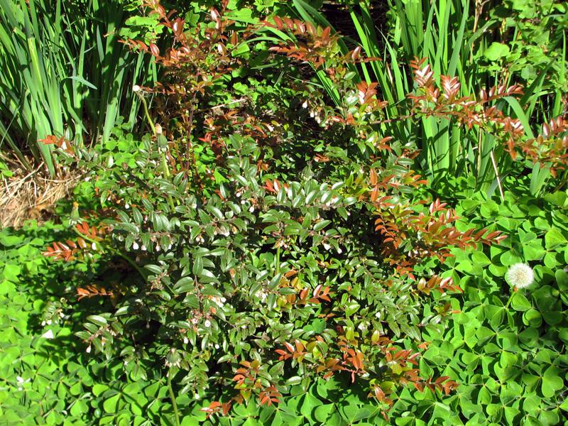 Evergreen huckleberry (Vaccinium ovatum)