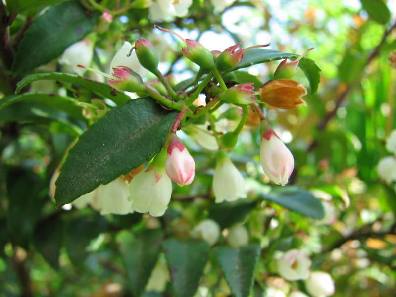 Evergreen Huckleberry Emswcd