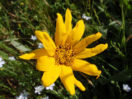 Narrow-leaved mules ear (Wyethia angustifolia)
