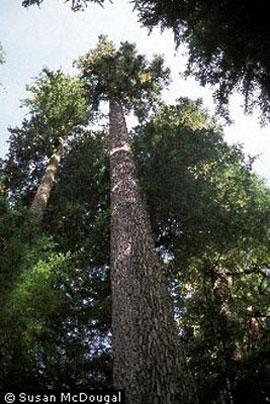 Noble fir (Abies procera)