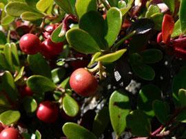 Kinnikinnick (Arctostaphylos uva-ursi)