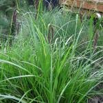 Slough sedge (Carex obnupta)
