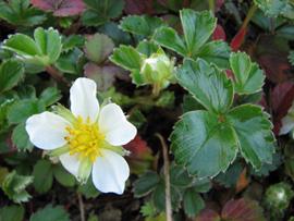Woodland strawberry (Fragaria vesca)
