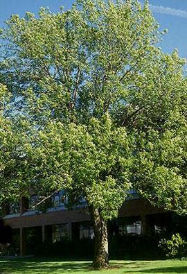Oregon ash (Fraxinus latifolia)