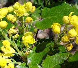 Tall Oregon grape (Mahonia aquifolium)