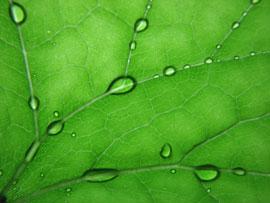 beads of water on Deer Foot leaf