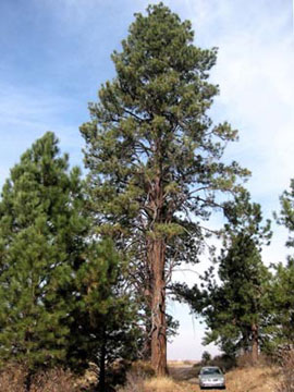 W.V. Ponderosa pine (Pinus ponderosa)