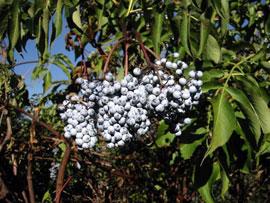 Blue elderberry (Sambucus caerulea)