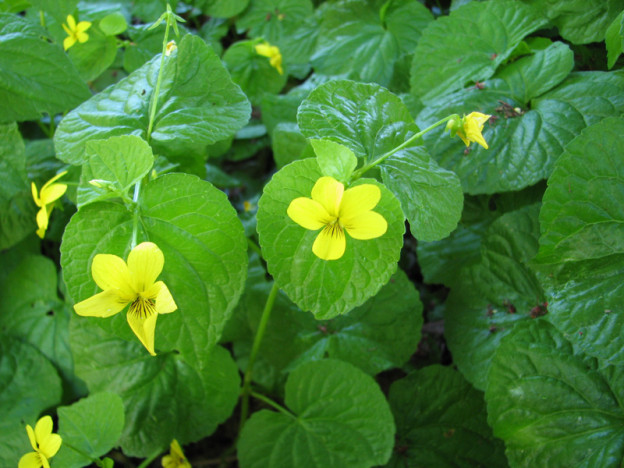 Yellow wood violet (viola glabella)