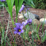 Blue-eyed grass (Sisyrinchium Idahoense)