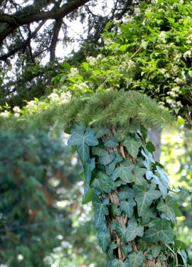 invasive weeds clematis and ivy
