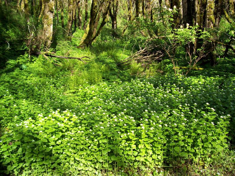 garlic mustard invading forest floor