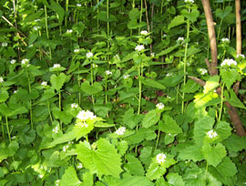 patch of invasive garlic mustard, flowering
