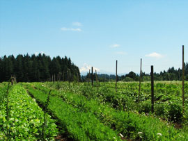 Some summer crops at Headwaters Farm, and Mt. Hood in the distance