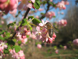 honey bee on red flowering currant