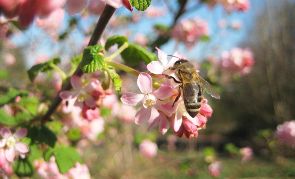 honey bee on red-flowering currant