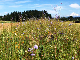 Pollinator strip at Headwaters Farm, Mt Hood in the background