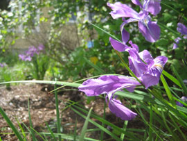 Oregon iris flowers in the EMSWCD demonstration yard