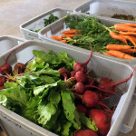 fresh vegetables for a CSA share from Full Cellar Farm