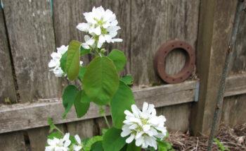 Serviceberry (Amelanchier alnifolia)