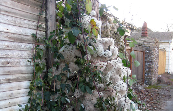 Invasive plants Old man's beard (Clematis vitalba) and Himalayan blackberry (Rubus discolor) climbing up a wall and post in an urban area