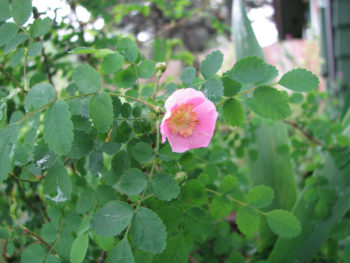 Baldhip Rose (Rosa gymnocarpa)