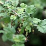 Black gooseberry (Ribes divaricatum)