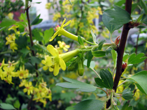 Golden Currant (Ribes aureum)