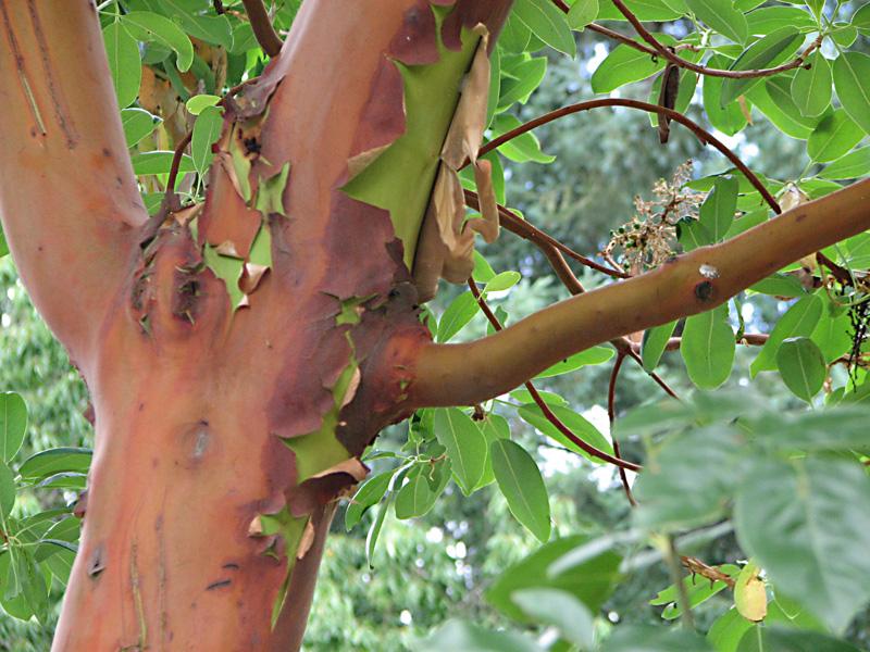 Madrone (Arbutus menziesi)