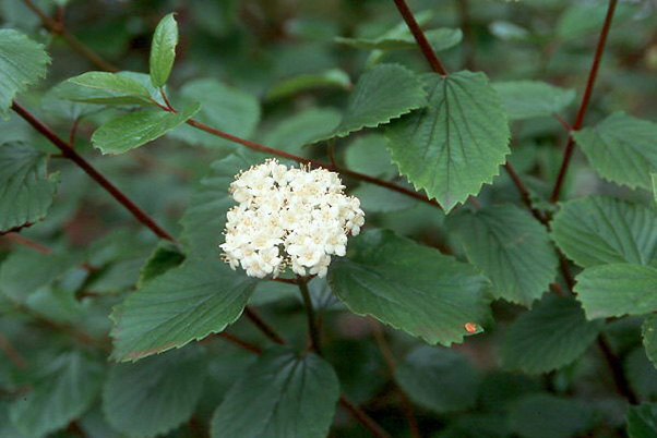 Oval-leaved Viburnum (Viburnum ellipticum)