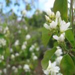 Pacific serviceberry (Amelanchier alnifolia) in EMSWCD yard